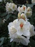 IMG_0373石楠花