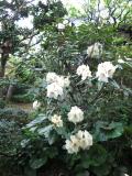 IMG_0372石楠花