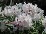 IMG_0235高蔵寺石楠花