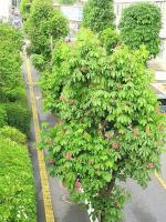 トチノキ街路樹