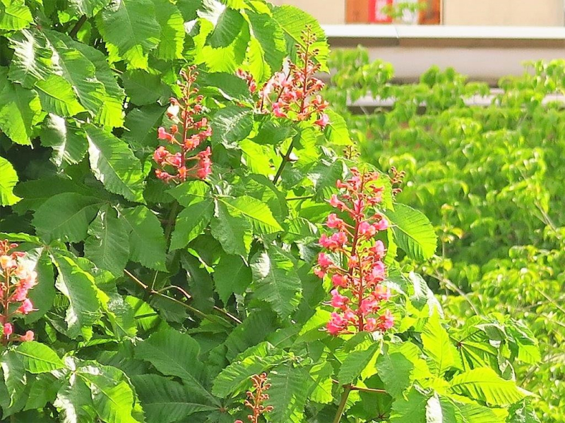 トチノキ花