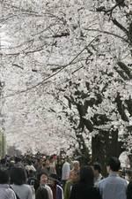 f5532218ee347 サクラが満開となった4月1日、休日と重なり、各地の名所はくり出した家族連れなどでにぎわいをみせた。川崎市麻生区の麻生川でも、約1.3kmの沿道に植えられ た約240本の ...