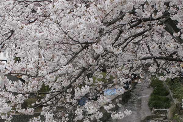 多摩区宿河原・二ヶ領用水さくら祭り4月2日-01