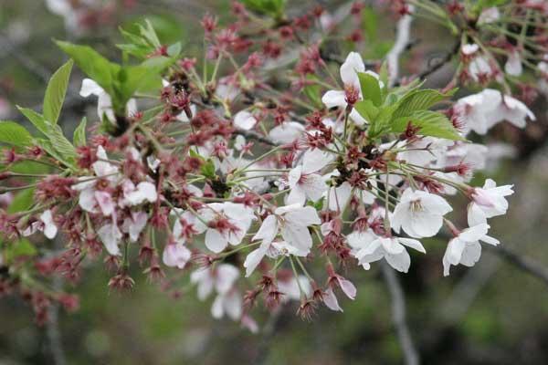多摩区宿河原・二ヶ領用水4月13日-1