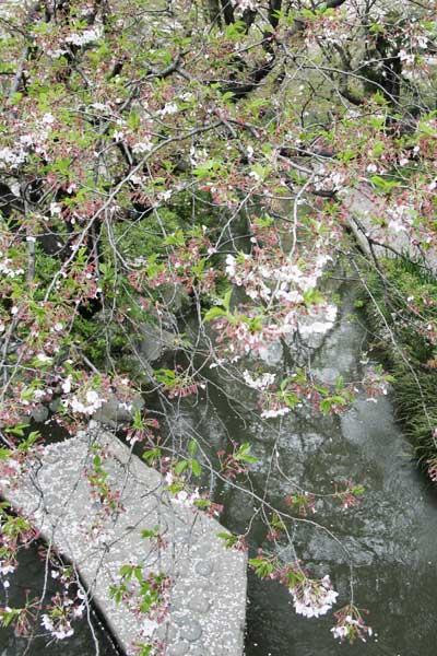 多摩区宿河原・二ヶ領用水4月13日-2