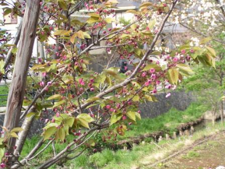 宮前区・平瀬川親水公園4月15日-10