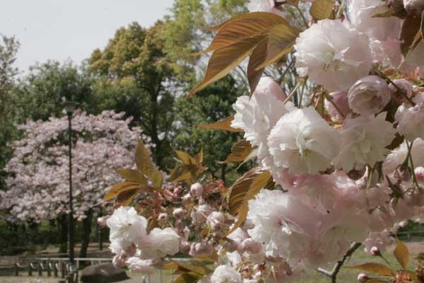狛江市・西河原公園4月15日-05