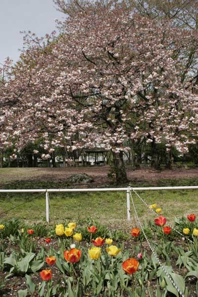 狛江市・西河原公園4月15日-07