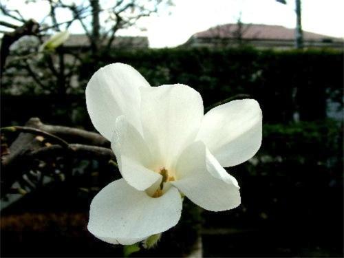狛江・トンボ池公園の春01