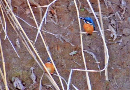 狛江・野川の野鳥03