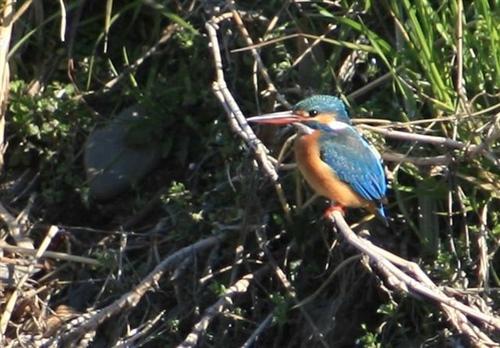 狛江・野川の野鳥02