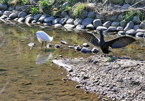 狛江・野川の野鳥04