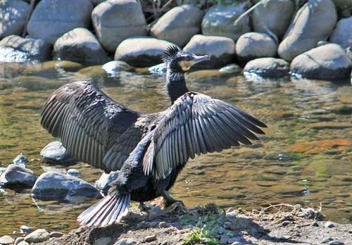 狛江・野川の野鳥05