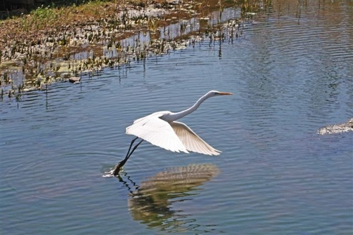 狛江・野川の野鳥06