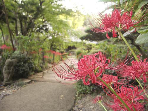 川崎の花:浄慶寺ヒガンバナ1
